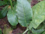 Семена табака сорта Басма