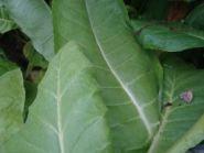 Семена табака сорта Дукат Крымский