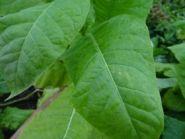 Семена табака сорта Раннеспелый